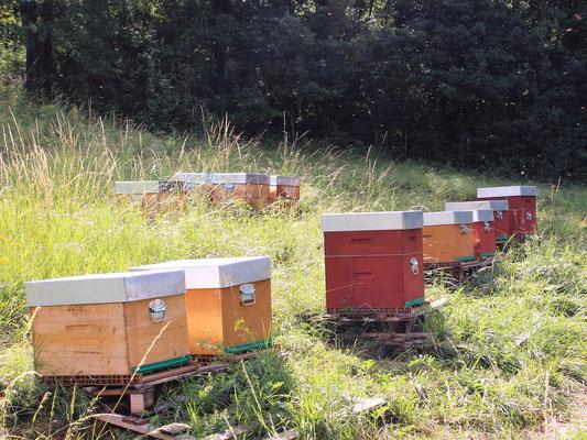 Le rucher à gelée royale (sur la parcelle de la future miellerie)