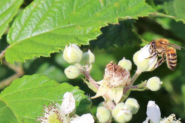 Nos abeilles à gelée