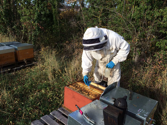 De l'acide oxalique en égouttement pour diminuer la population de varroa