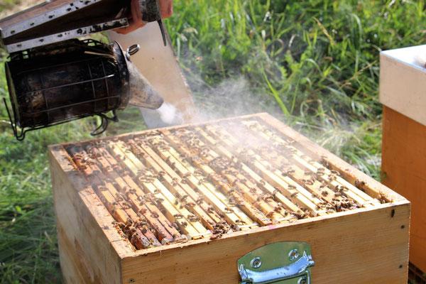 On enfume les ruches pour prévenir les abeilles !
