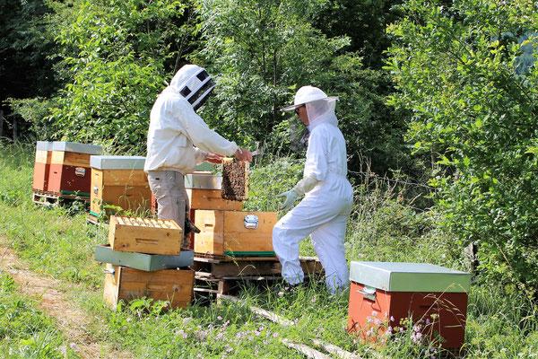 Dominique et Stéphanie aux ruches : la récolte de la gelée royale (qui se fait 2 fois / semaine)