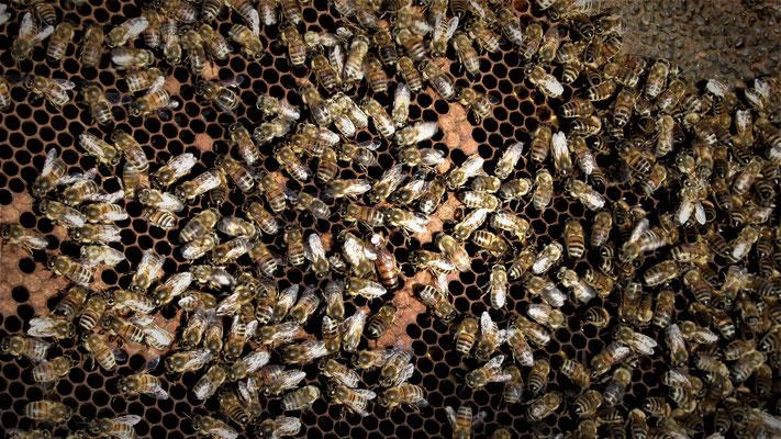 Nos abeilles productrices de miel ! Cherchez la reine...