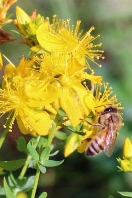 Nos abeilles productrices de gelée (et un peu de miel, elles sont trop fortes !)