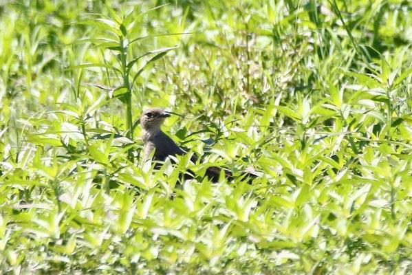 ツバメチドリ夏羽