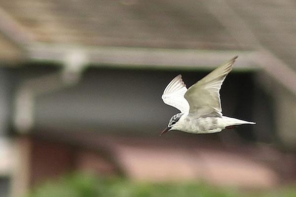 クロハラアジサシ幼鳥