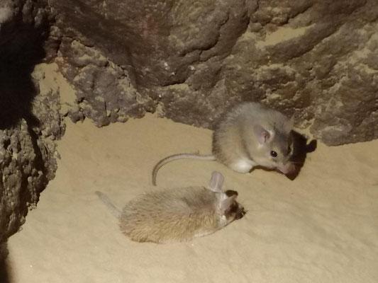 Arabian Spiny Mouse