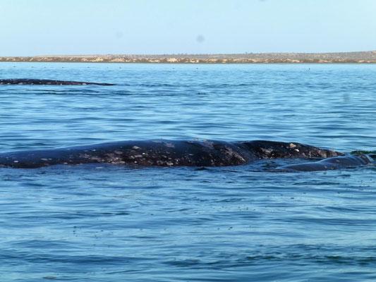 bis 15 Meter lang sind diese Tiere
