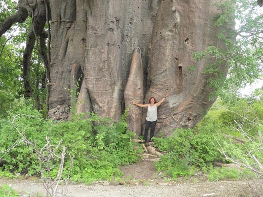 oh - wie ist der Affenbrotbaum dick ...