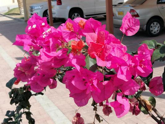 Blumen im Oman