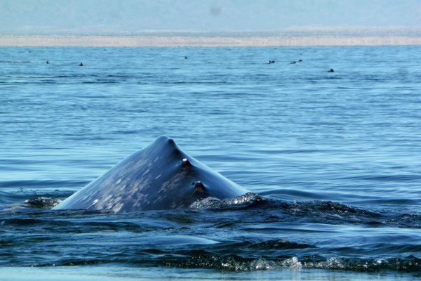 die Wale kommen ganz nah an unser kleines Boot