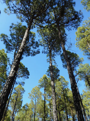 Pinienwald El Hierro