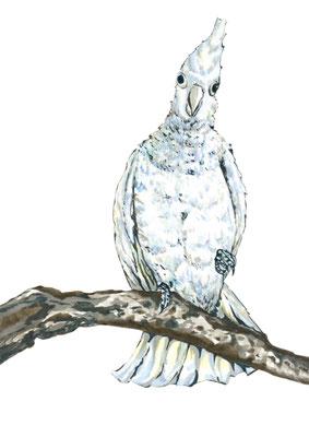品種:大巴丹鸚鵡