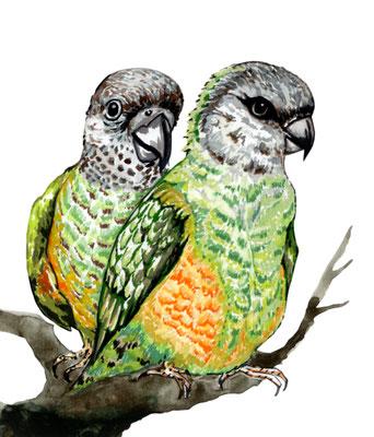 品種:塞內加爾鸚鵡