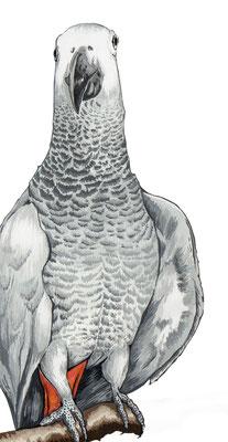 品種:非洲灰鸚鵡