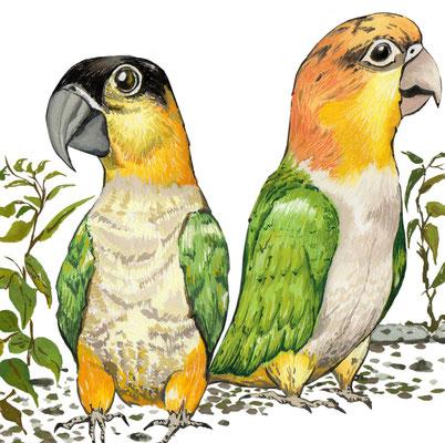 品種:凱克鸚鵡