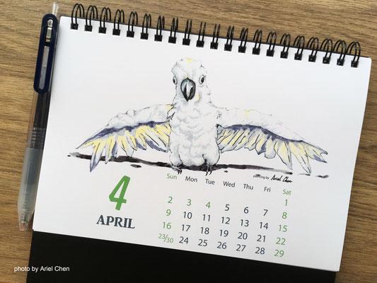四月 品種:杜氏巴丹鸚鵡