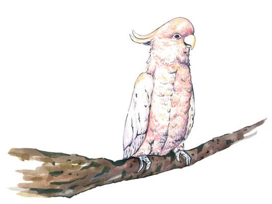 品種:粉紅巴丹鸚鵡