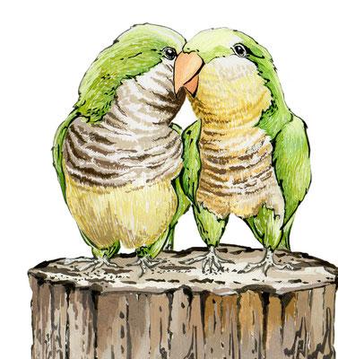 品種:綠和尚鸚鵡