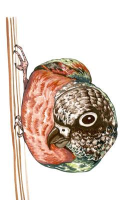 品種:赤腹小太陽鸚鵡