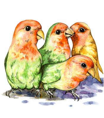 品種:牡丹鸚鵡