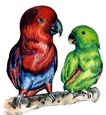 品種:折衷鸚鵡