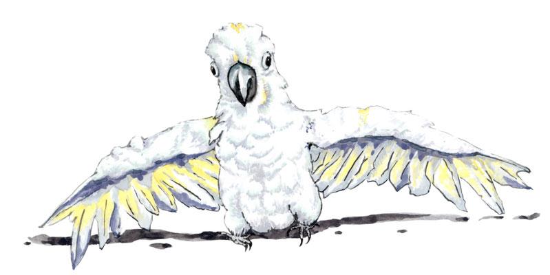 品種:杜氏巴丹鸚鵡