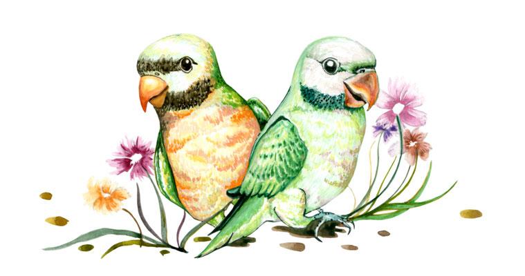 品種:達摩鸚鵡