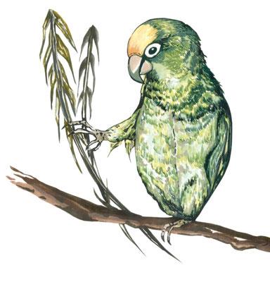 品種:黃帽綠翼鸚鵡