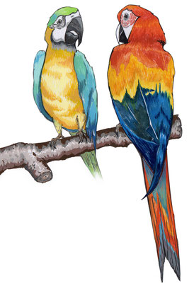 品種:金剛鸚鵡