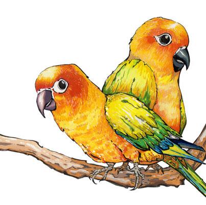 品種:金太陽鸚鵡