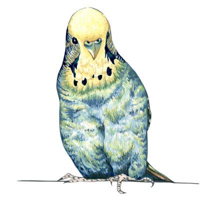 品種:虎皮鸚鵡