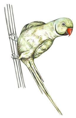 品種:綠月輪鸚鵡