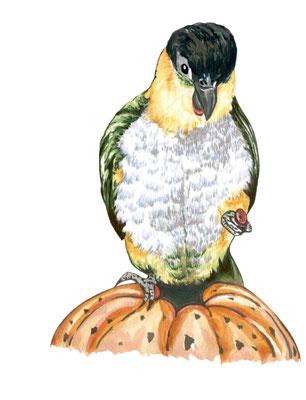 品種:黑頭凱克鸚鵡