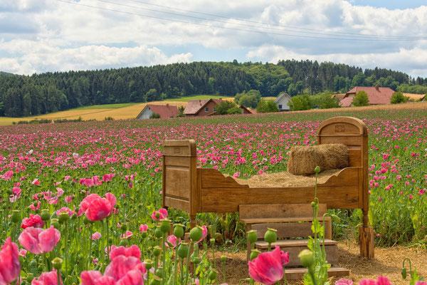 Meißner Mohnblüte Germerode ( Hessen)