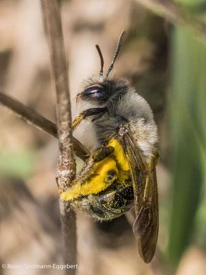 Andrena vaga_Große Weiden-Sandbiene