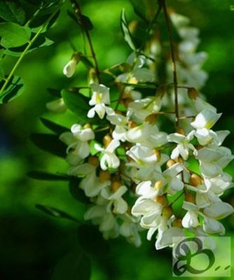 Blüten der Robinie, wetterfestes Holz für die Außenanwendung - Holzwerk Peter Stoiber