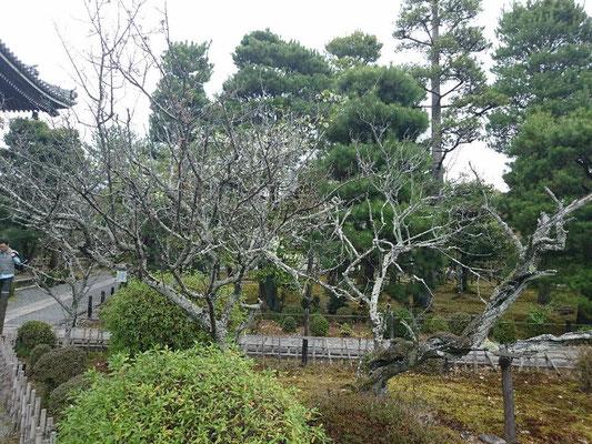 「清凉寺」軒端の梅 (のきばのうめ)