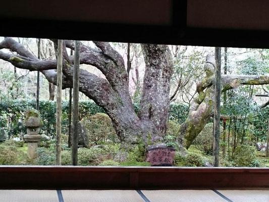 宝泉院 樹齢700年・近代富士を模った五葉の松