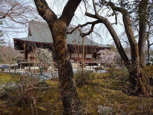 天龍寺枝垂れ梅 華やかな紅白の梅です。