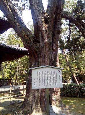 イブキ巨樹