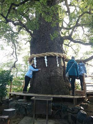 新熊野神社のおなかの神様「大樟さん」