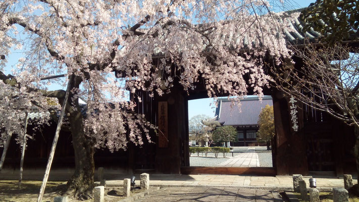 妙覚寺 枝垂れ桜