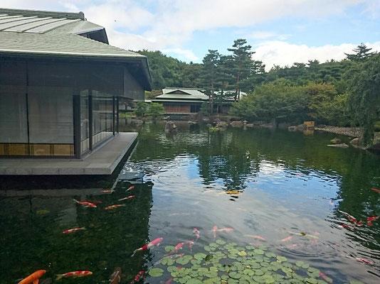 幼鯉も生まれる中庭の池