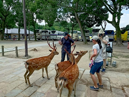 The deer of Nara-park fits persons.