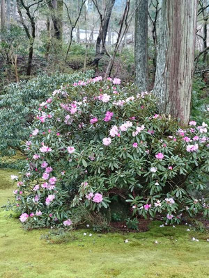 三千院 石楠花が早くも満開