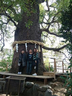 今熊野神社(いまくまの)大楠木・御神木