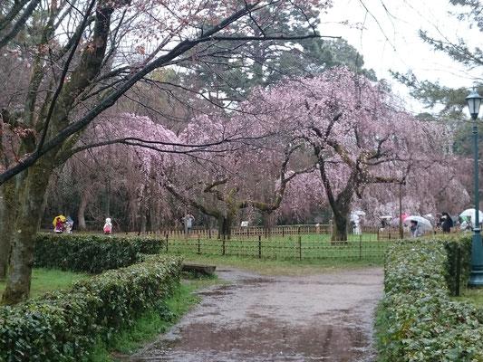 近衛邸跡地の糸桜