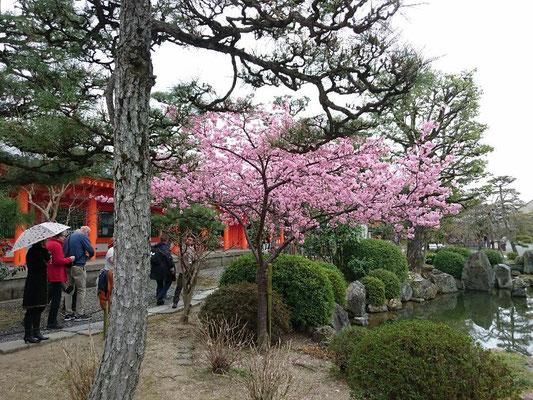 河津桜満開 (三十三間堂)