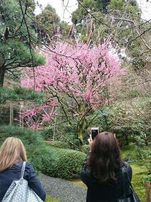 The plum-trees are in full blossom in Ryoanji-Temple
