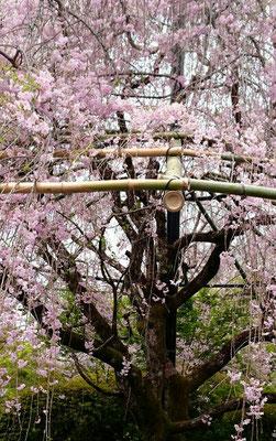退蔵院[枝垂れ桜」